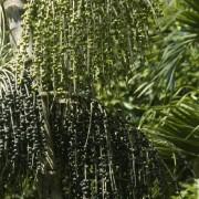 BioTrendy - Acai berry - Jagody acai - Euterpa warzywna (Euterpe oleracea) PL - właściwości i zastosowanie