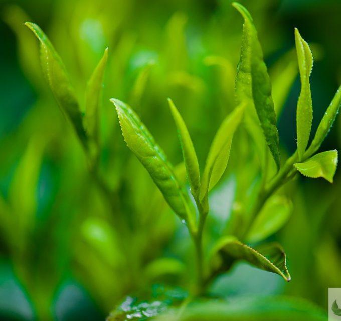 BioTrendy - Zielona herbata PL - właściwości i zastosowanie