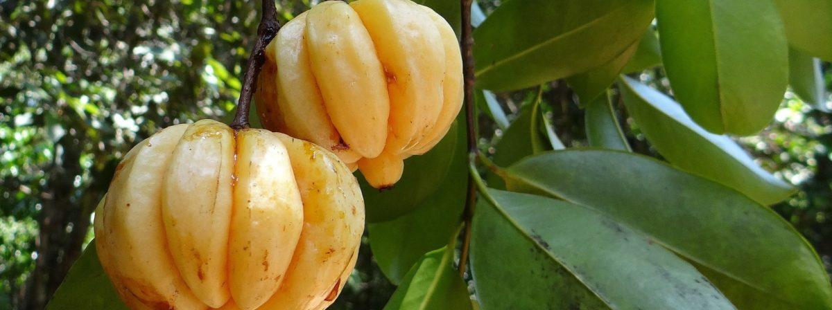 BioTrendy - Garcinia cambogia (Tamaryndowiec malabarski) PL - właściwości i zastosowanie