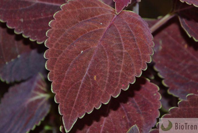 BioTrendy - Pokrzywa indyjska (Forskolina) PL - właściwości i zastosowanie